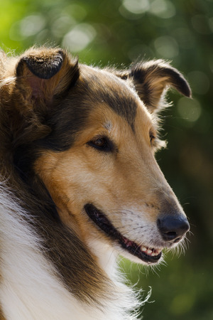 Scottish sheepdog photo