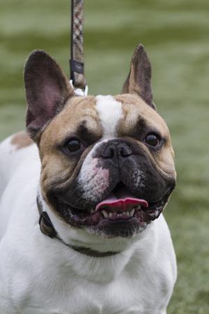 bulldog photo