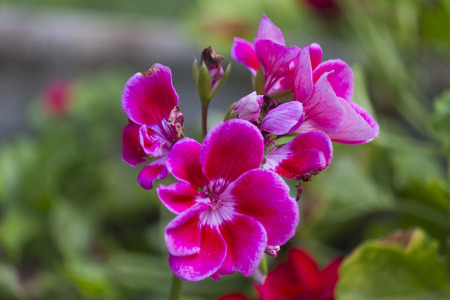 geranium in the garden photo