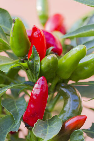 red chili photo
