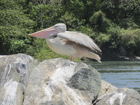african pelican photo
