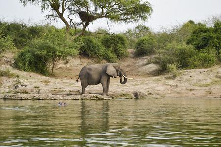Elephant in the african savannah photo