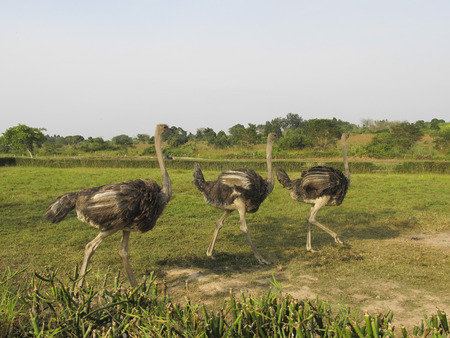 ostrich in the african savanna photo