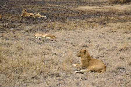 lions in the African bush photo