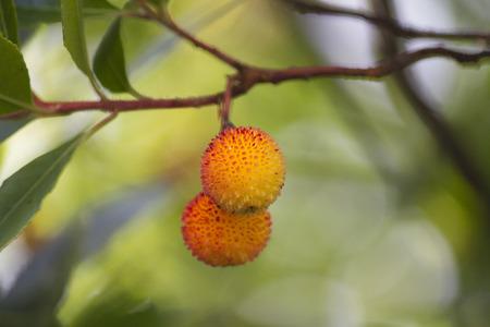 arbutus on tree photo