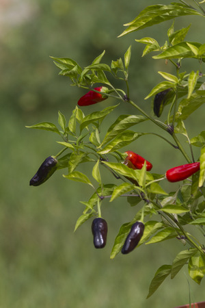 red and blue chilies photo