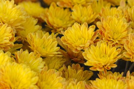 chrysanthemum in the garden photo