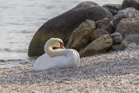 swan at lake photo