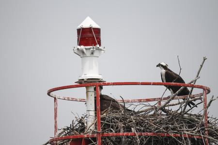 cormorants: cormorants nest on the island