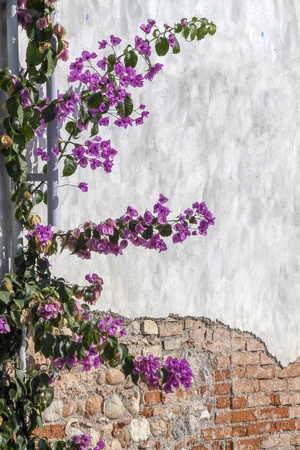 bougainvillea on wall as texture photo