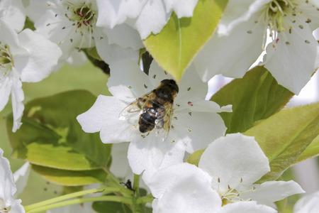 stamen wasp: bee on white flower Stock Photo