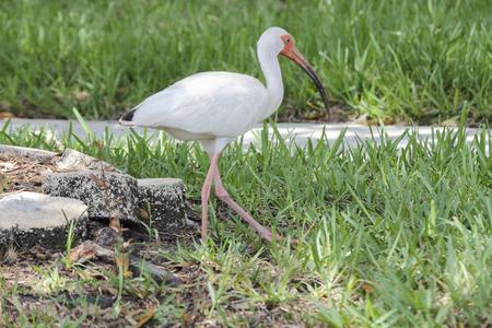 white bird: white bird on grass