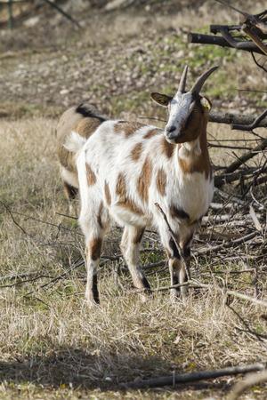 goat in the farm Stock Photo