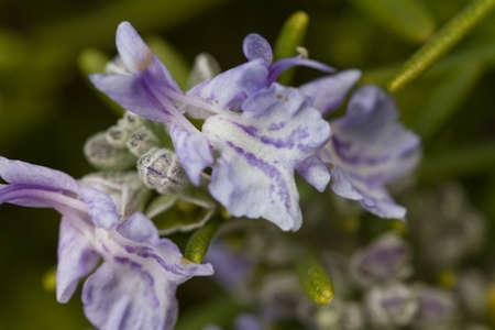 rosemary flower: rosemary flower