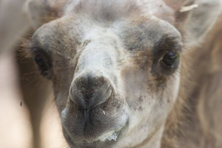 camel  close up photo