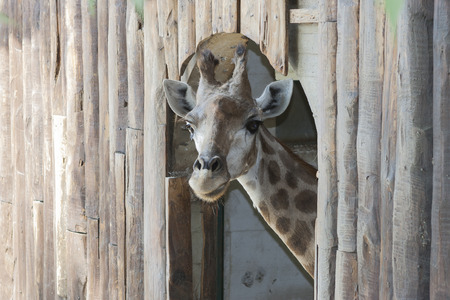 giraffe  close up photo