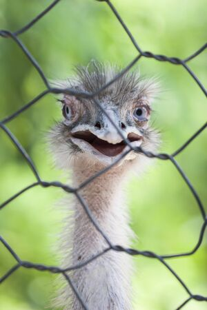 ostrich in the farm photo