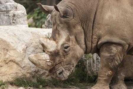 rhino at the zoo photo
