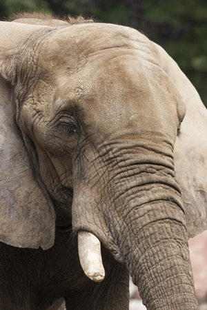 tusks: elephant in the jungle Stock Photo