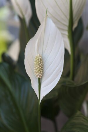 peace lily: peace lily in the garden