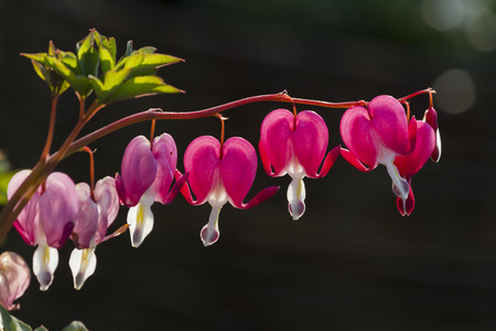 fuchsia: dicentra fuchsia in the garden Stock Photo