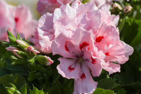 carnations: carnations in the garden