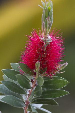 callistemon: callistemon in the garden Stock Photo