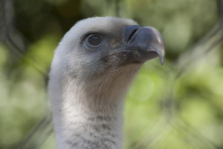 gyps: Snow vulture gyps himalayensis Stock Photo