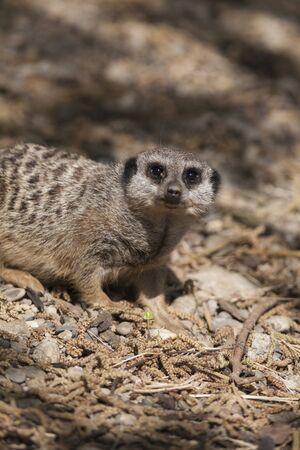 at meerkat: meerkat in the forest