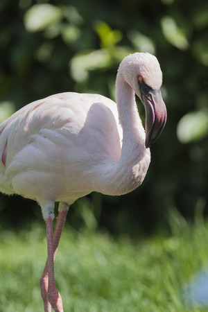 lesser: lesser flamingo Phoeniconaias minor