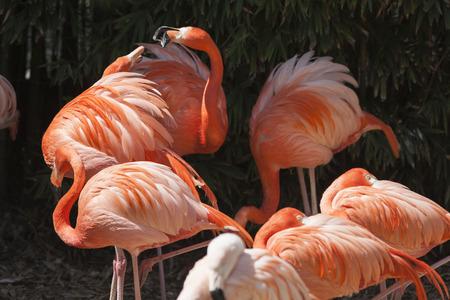 phoenicopterus: phoenicopterus ruber ruber red flamingo