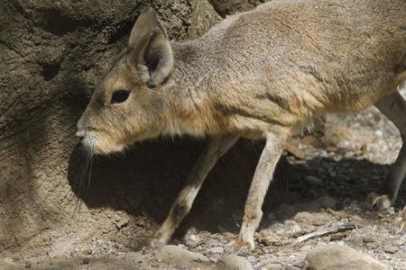 the mara: mara hare of Patagonia Stock Photo