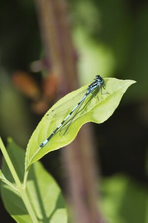 dragonfly wings: dragonfly on leaf Stock Photo