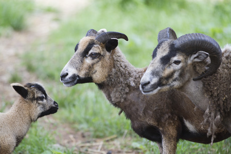billygoat: sheep in the farm