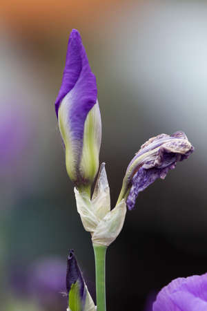 gladiolus: iris gladiolus in the garden