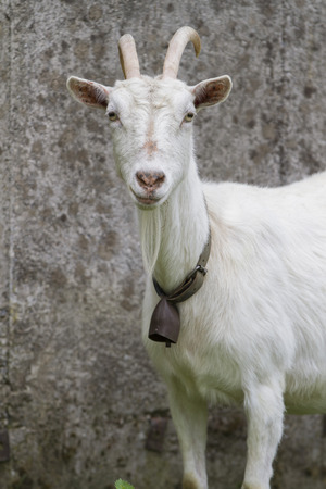 billygoat: goat in the farm Stock Photo