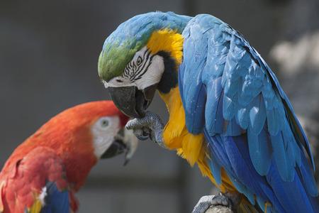 ararauna: ara ararauna parrot on its perch