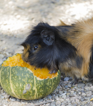 guinea: guinea pig