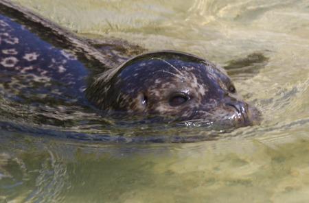 backstroke: seal marine Stock Photo