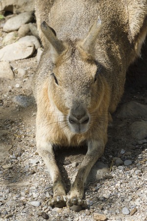 patagonia: mara hare of Patagonia Stock Photo