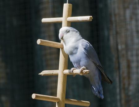 lovebirds: agapornis lovebirds
