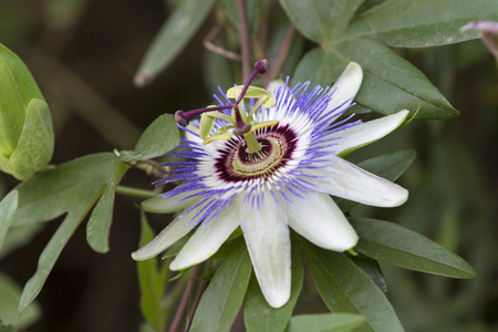 passionflower: passionflower in the garden