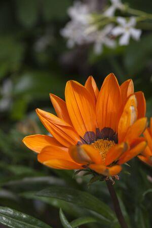aster: aster flower in the garden