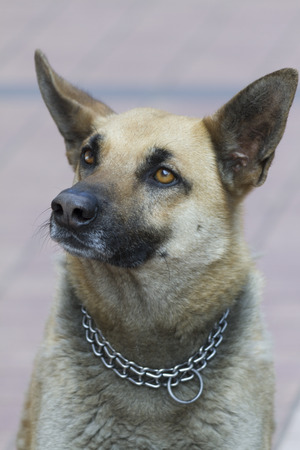 sheperd: german sheperd dog