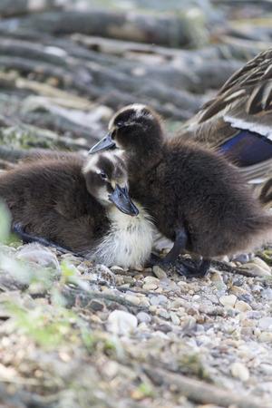 ducklings: ducklings on lake Stock Photo