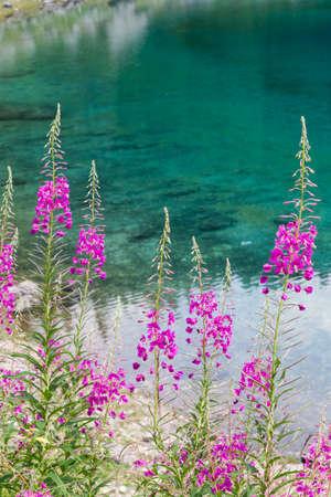 Wildflower: wildflower in the meadow
