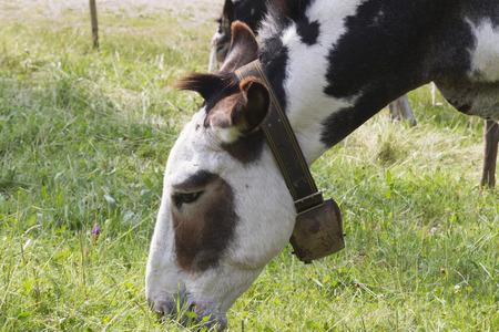 donkeys: donkeys grazing Stock Photo