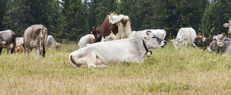 grazing cows: grazing cows on the mountain Stock Photo