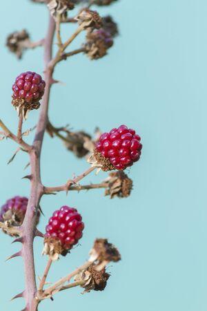 ripe: ripe blackberries Stock Photo