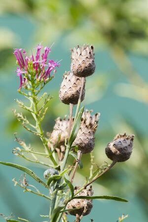 Wildflower: wildflower in summer